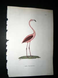 Shaw C1800's Antique Hand Col Bird Print. Red Flamingo